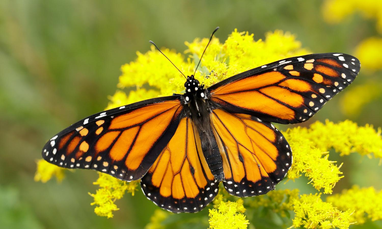 monarch-danaus-plexippus